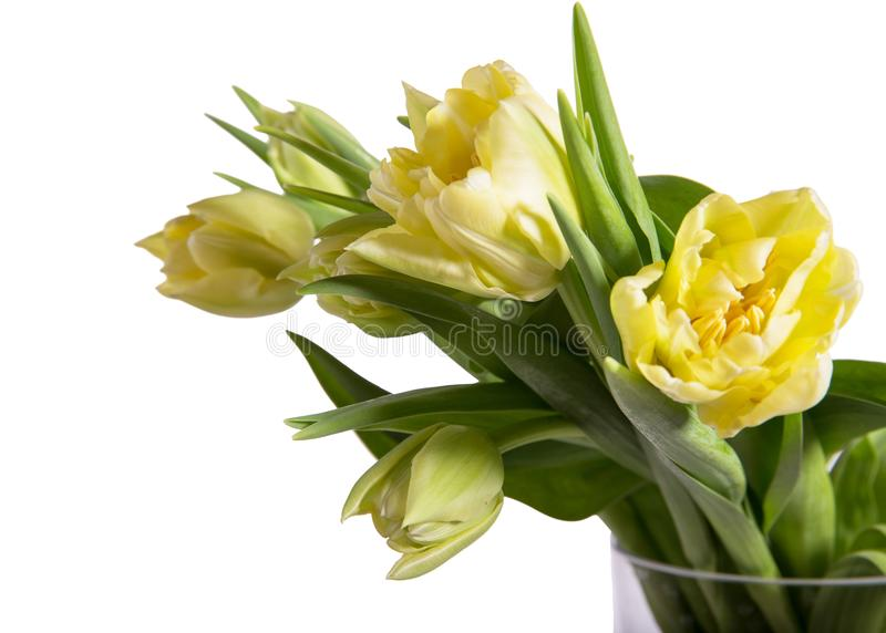 Light yellow tulips on white background. Easter, Mother& x27;s, Valentines, Women& x27;s Day. Tulip Verona royalty free stock photography