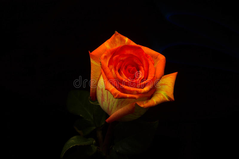 Lightbrush-Dunkelheit rosafarbene myst Blume lizenzfreies stockfoto