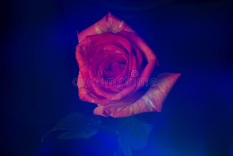 Lightbrush-Dunkelheit rosafarbene myst Blume stockfotos