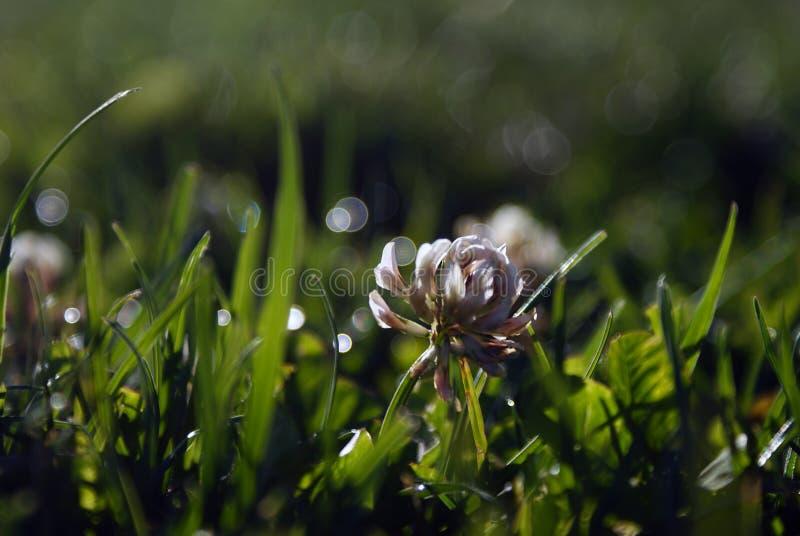 Lighten Clover Flower royalty free stock photography