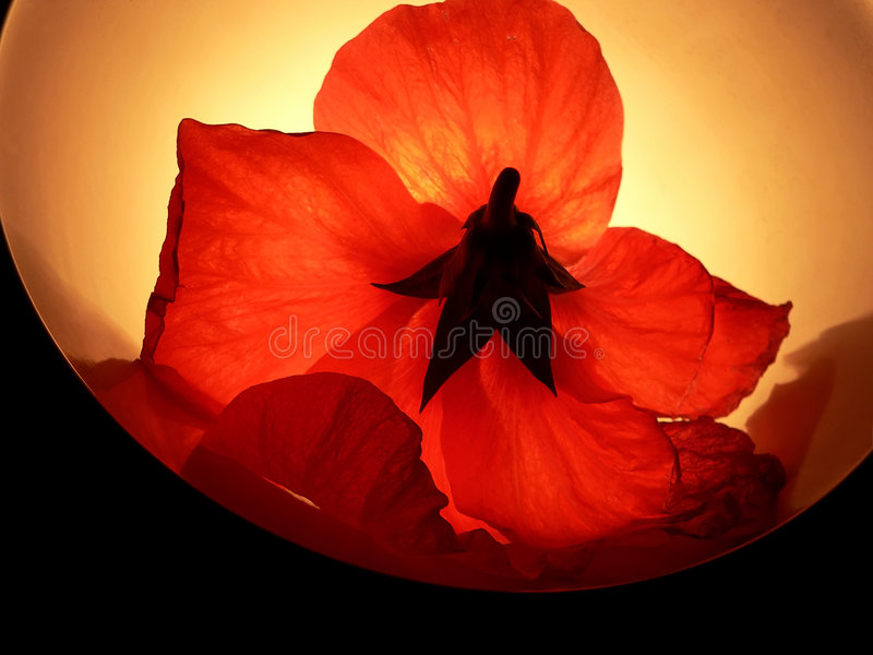 Download Lighter Red Flower stock photo. Image of sadness, explore - 183674