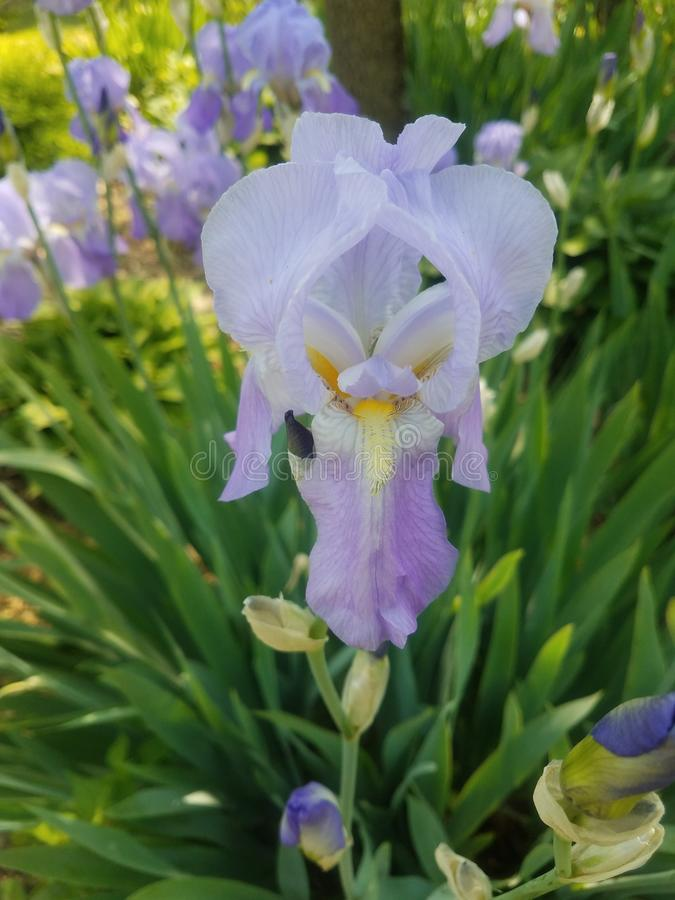 Light purple irises. Lightly colored purple iris flowers bloom in a garden bed stock image