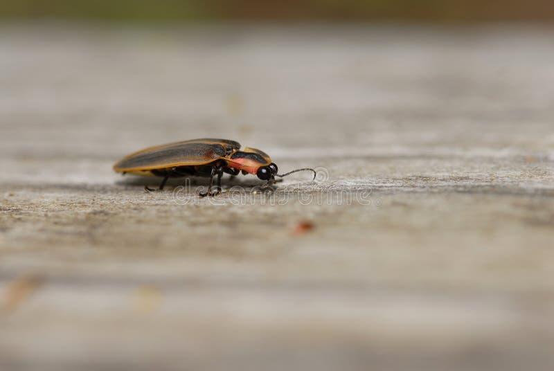 Download Lightning Bug stock photo. Image of focus, environment - 9222186