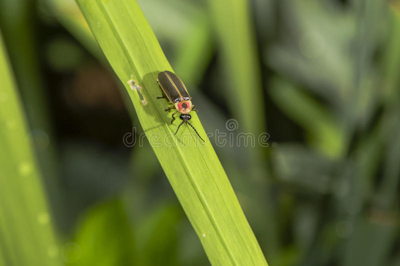 Lightning Bug on Blade of Grass. With shiny black eyes, speckled antennae, a red and yellow thorax with black spot, black and yellow striped wings, this insect stock photos