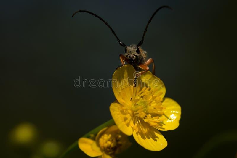 Lightning Bug. Macro photos of Lightning Bug on a flower royalty free stock photo