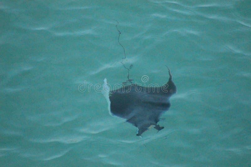 Sting ray gulf of mexico sunset panama city beach florida royalty free stock image