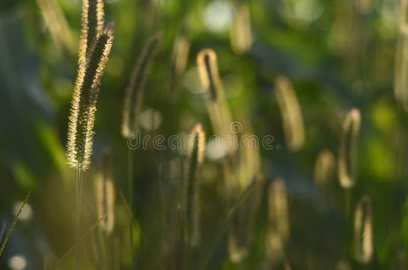 Glowing field grass stock image