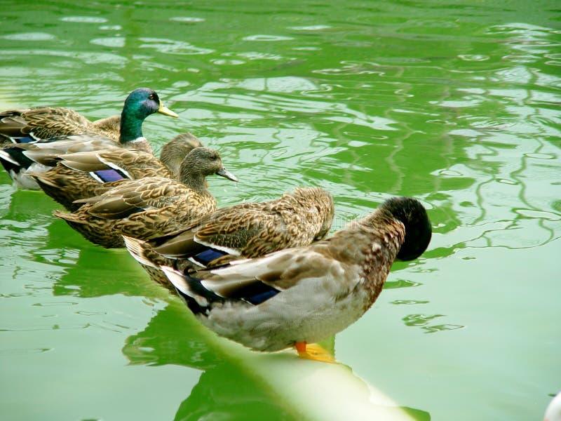 Ligne de canards photos libres de droits