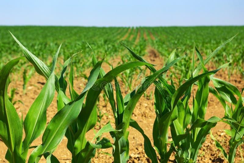 Ligne de champ de maïs. photo libre de droits