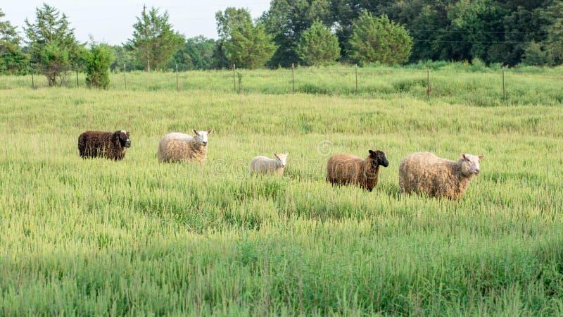 Ligne des moutons marchant par l'herbe grande images stock