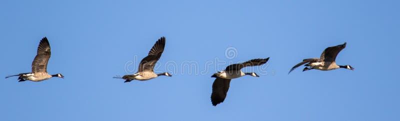 Ligne des oies de Canada volant avec le ciel clair image libre de droits