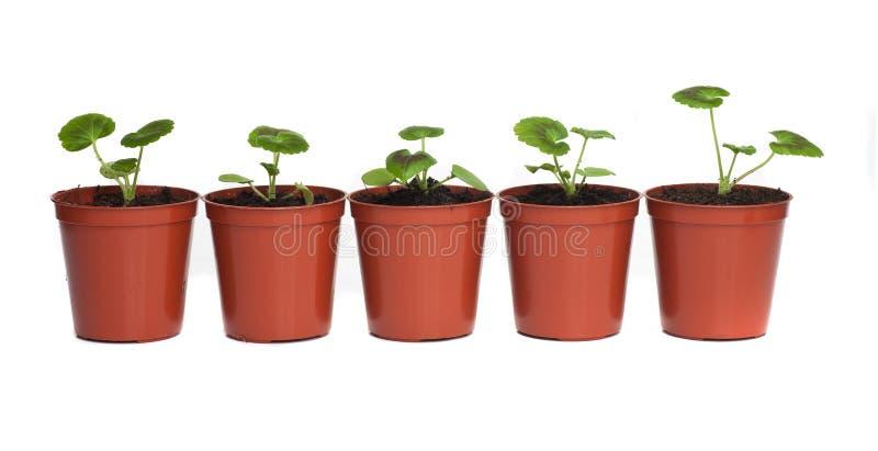 Ligne des plantes dans des bacs en plastique photographie stock libre de droits