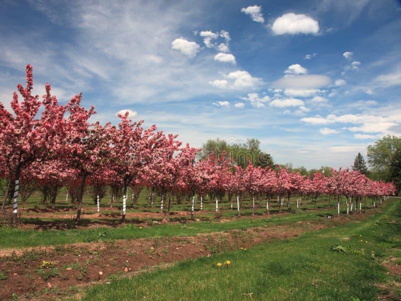 Ligne des pommiers avec des fleurs dans le verger photographie stock libre de droits