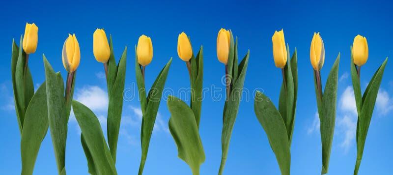 Ligne des tulipes jaunes photos libres de droits