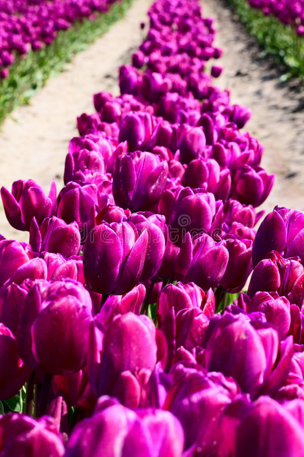 Ligne des tulipes pourprées images stock