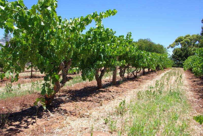 Ligne des vignes photo stock