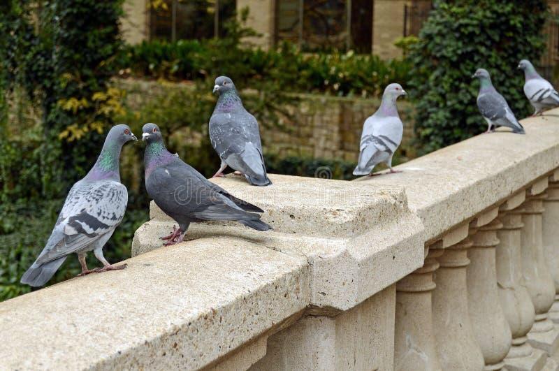 Ligne pigeons de danse sur la balustrade de pont à San Antonio photographie stock libre de droits