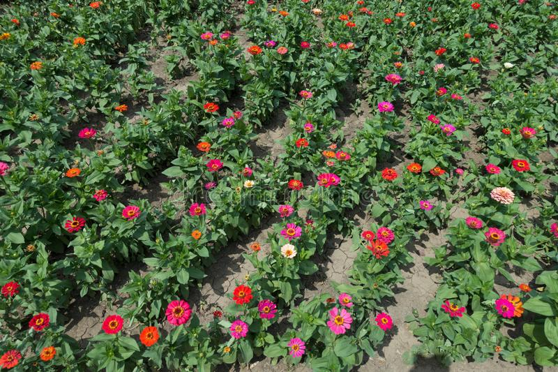 Lignes de fleurs de zinnia de couleur rouge, rose, orange, beige et magenta photos stock