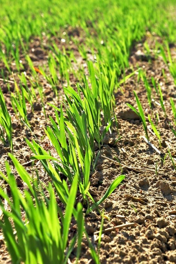 Lignes de jeune blé. photos libres de droits
