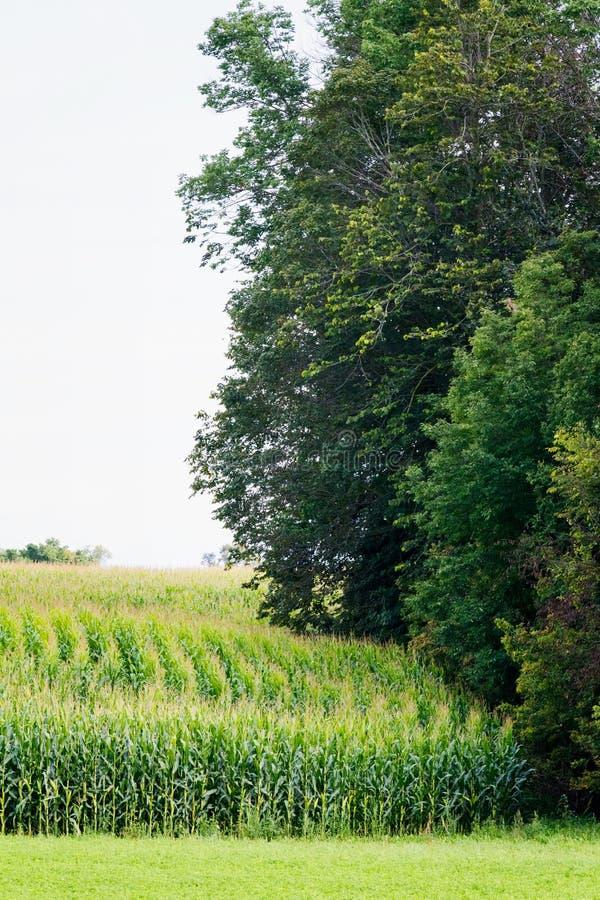 Lignes de maïs photo stock