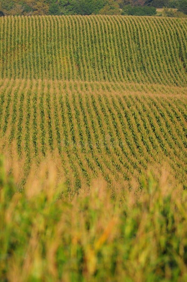 Lignes de maïs images stock