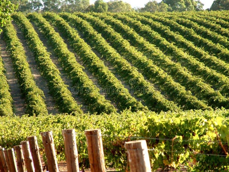 Lignes de vigne photographie stock