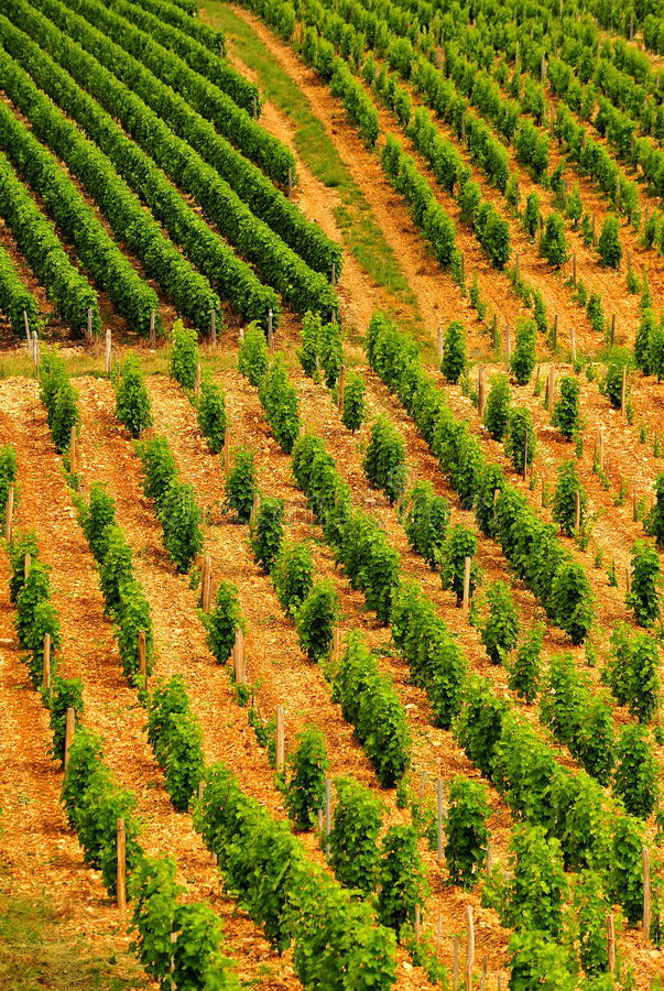 Lignes de vigne, Sancerre, France photo stock