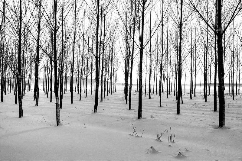 Lignes des arbres en hiver. images libres de droits