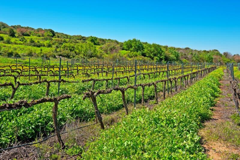 Lignes des vignes photographie stock libre de droits