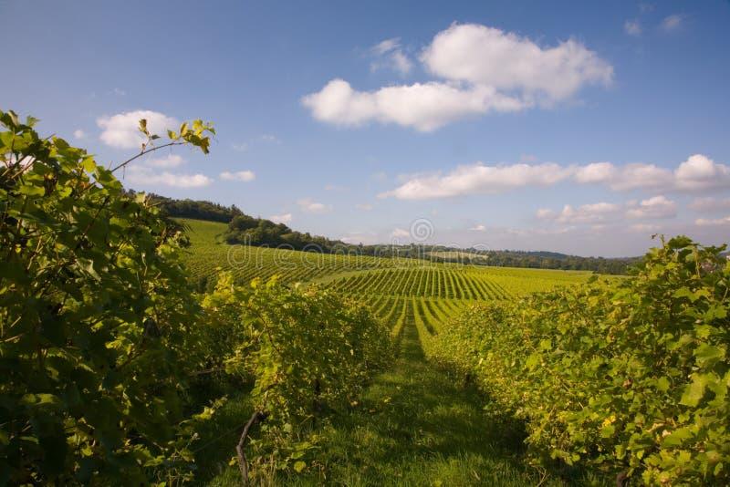 Lignes des vignes dans une vigne image stock