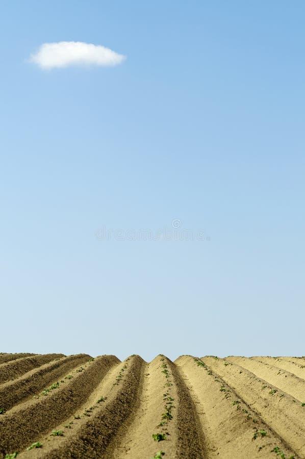 Lignes droites de pomme de terre de saleté avec le nuage minuscule photographie stock libre de droits