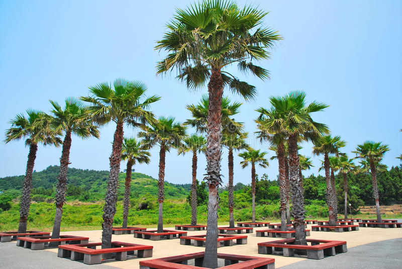 Lignes soigné disposées des arbres de noix de coco tropicaux photographie stock libre de droits