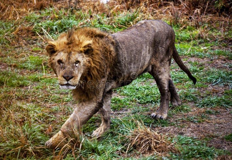 Ligr Hybryd lew i tygrys Wielki męski ligra fotografia royalty free