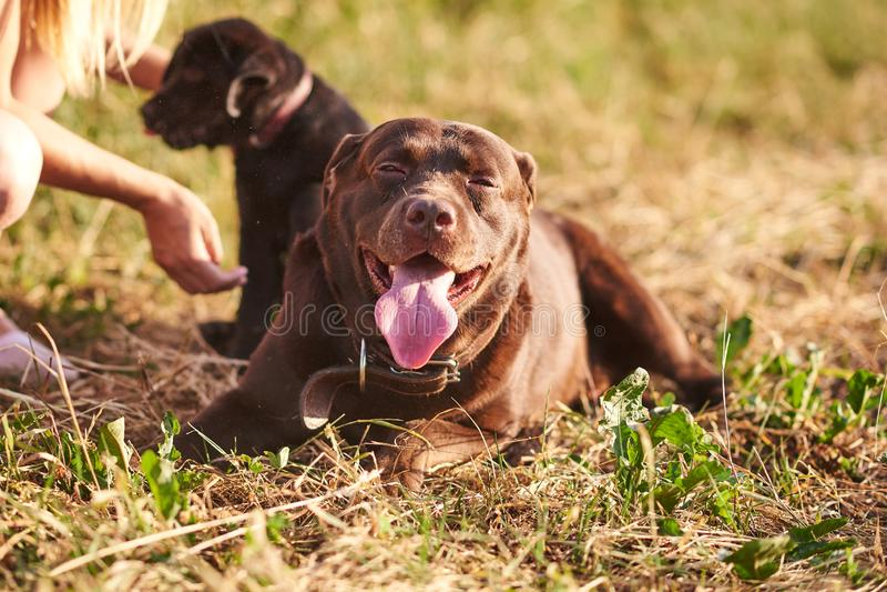 Ligt de bruine kleur van Labrador op het gras met een tevreden uitdrukking op het gezicht stock foto's