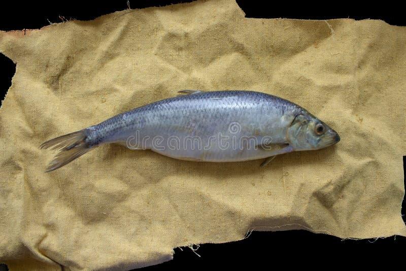 Ligt de haringen Baltische vis op jutestof De gescheurde die doek van de randenzak over zwarte oppervlakte wordt geïsoleerd Marie stock foto