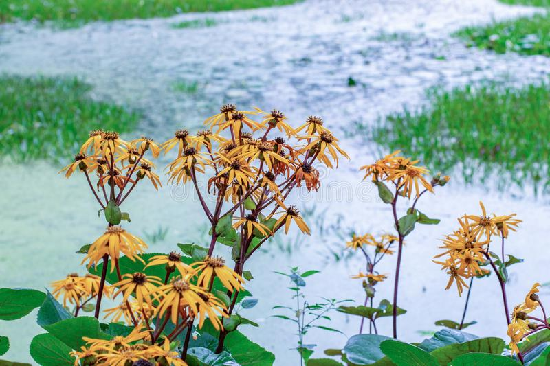 Ligularia dentata Desdemona blossom on the shore, yellow flowers bloom near the water, autumn nature floral horizontal background royalty free stock photography