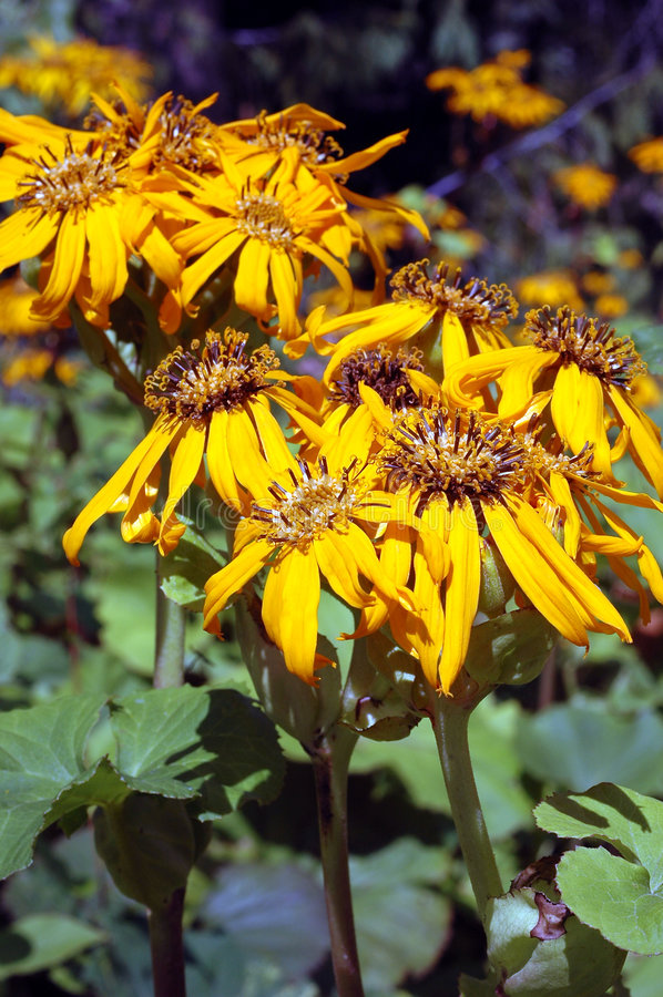 Download Ligularia dentata Othello stock photo. Image of horticulture - 1146480