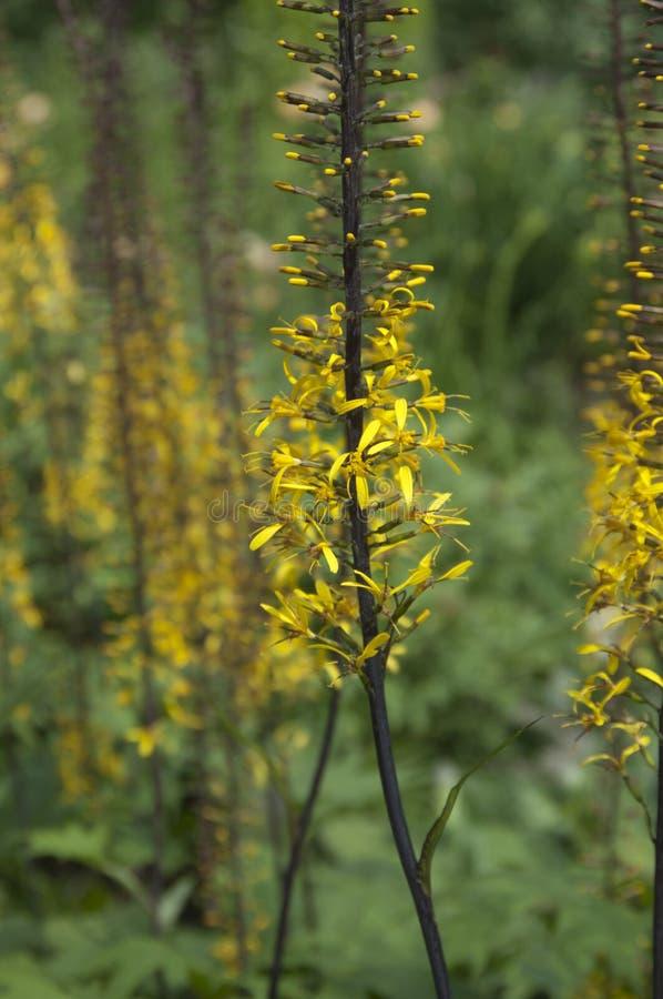 Ligularia przewalskii flowers stock photo