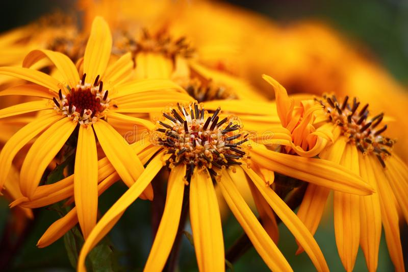 Yellow flowers of a ligularia. royalty free stock photo