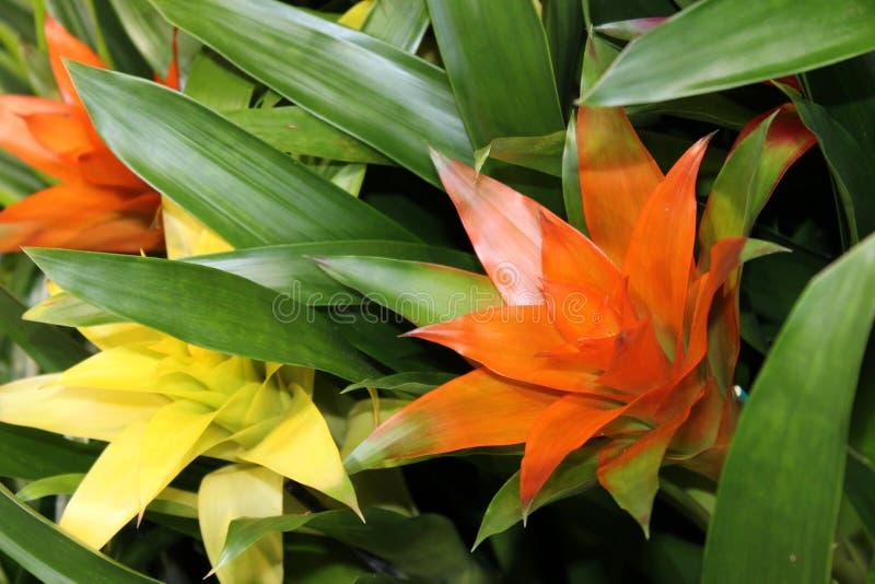 Ligulata de Guzmania de las flores de las bromelias foto de archivo