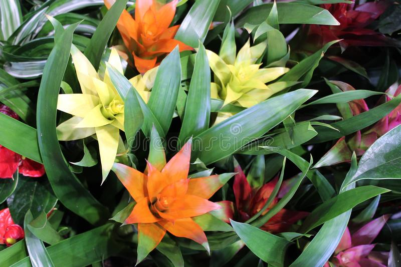 Ligulata di Guzmania dei fiori di bromeliaceae immagini stock libere da diritti
