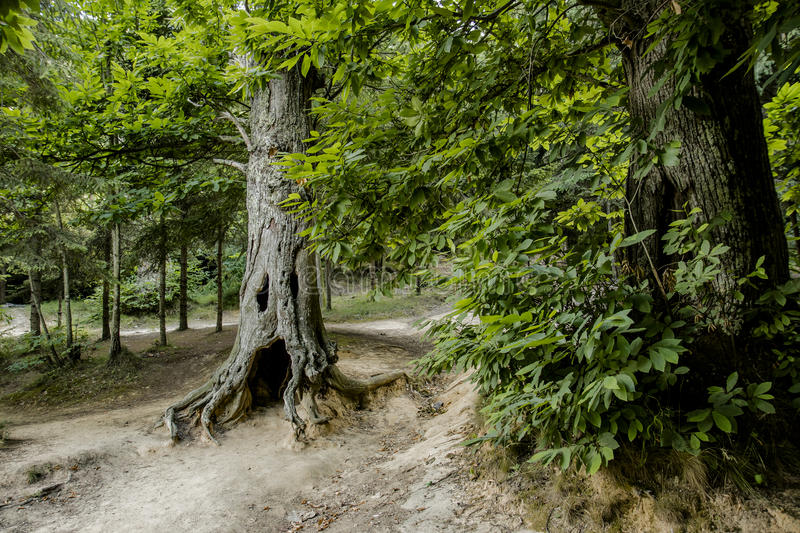 A ghost tree. In liguria ,italy, in the woods of sanremo a chestnut tree looks like a ghost royalty free stock photo