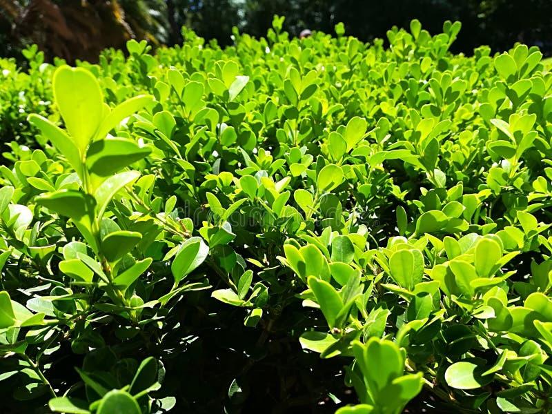 Ligurinegrond met kleine bladeren in de tuin stock afbeeldingen