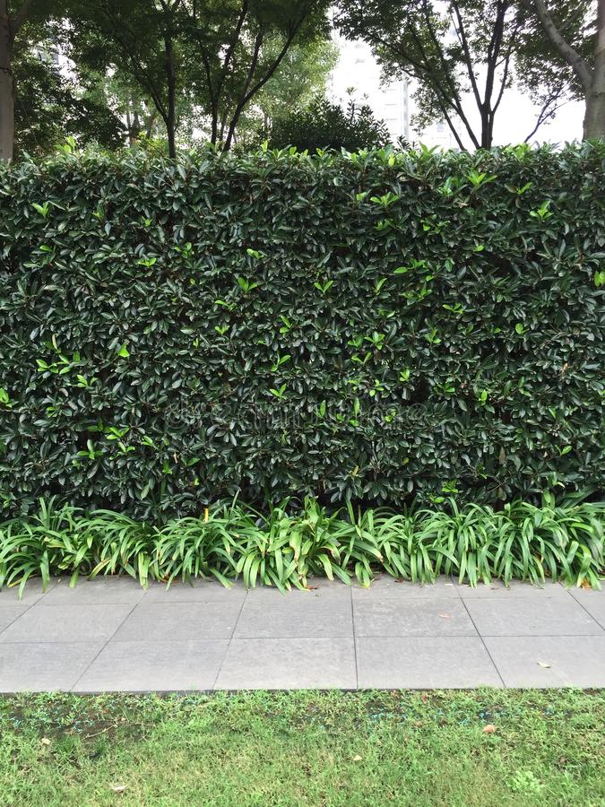 Liguster die hagen planten royalty-vrije stock afbeeldingen