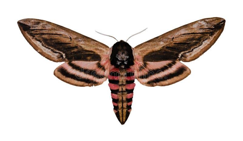 Liguster Hawk Moth royaltyfri foto