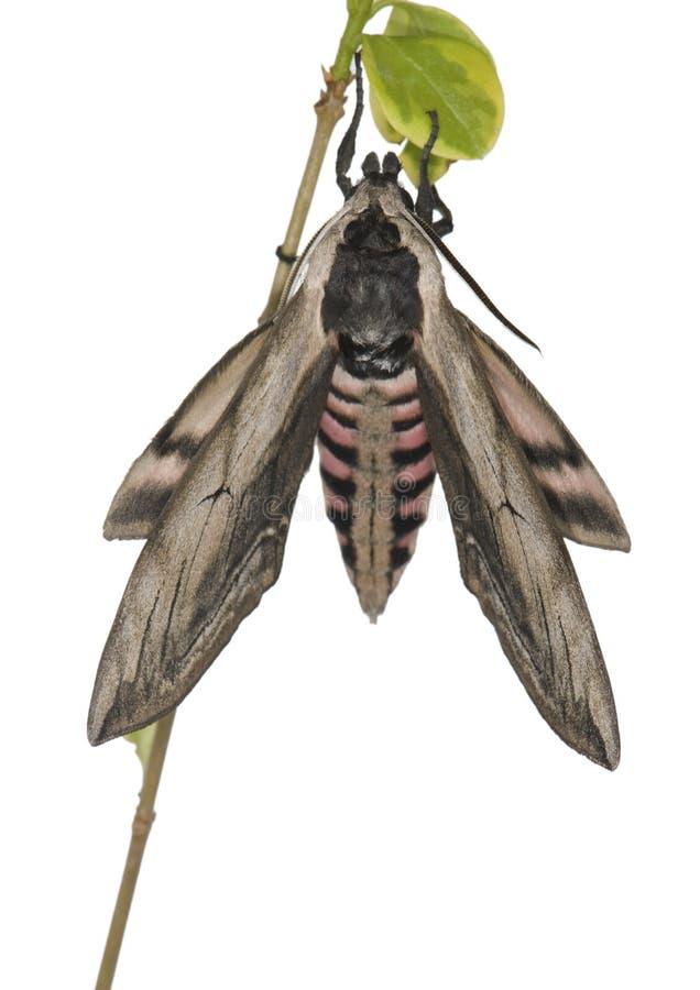 Liguster Hawk Moth 2 royaltyfri bild