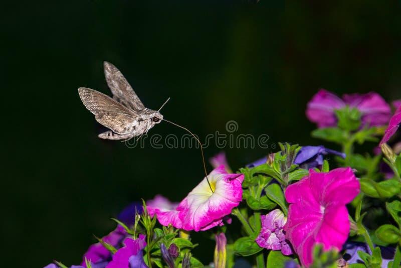 Liguster Hawk Moth, sfinxligustri arkivbild