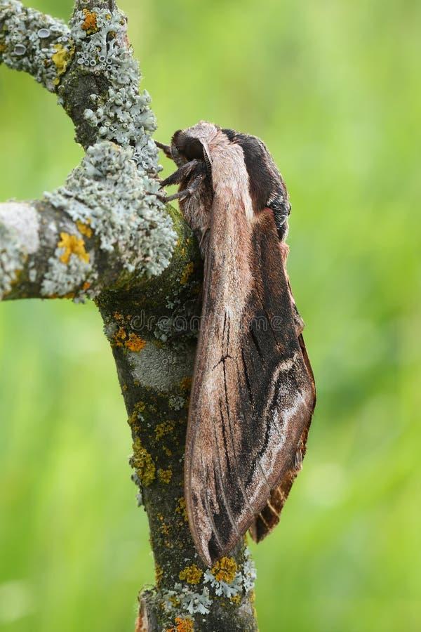 Ligustrowy jastrzębia mothSphinx ligustri obrazy royalty free