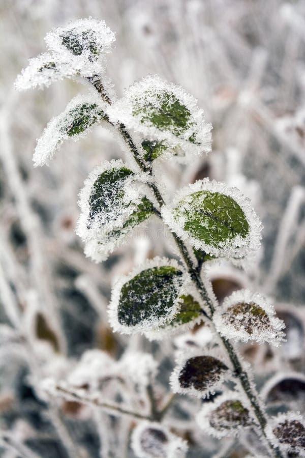 Ligustrum congelado das folhas foto de stock