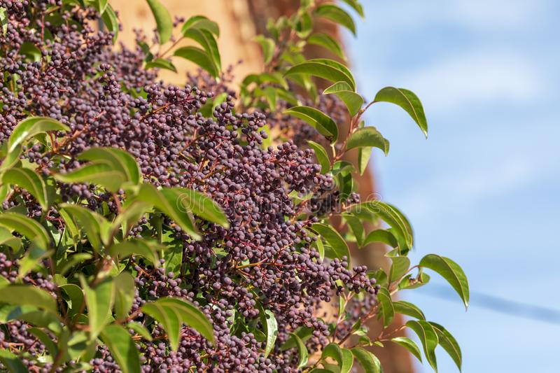 Ligustrum lucidum Arboreal Aligustre del Giappone Chiusura dell'albero e dei suoi frutti immagine stock libera da diritti